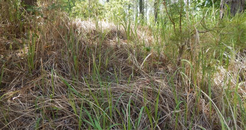 Invasive Cogongrass Control Recomendations