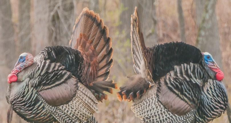 Turkey Fever Part 2:  Calling All Turkeys (A Guide For Beginners)
