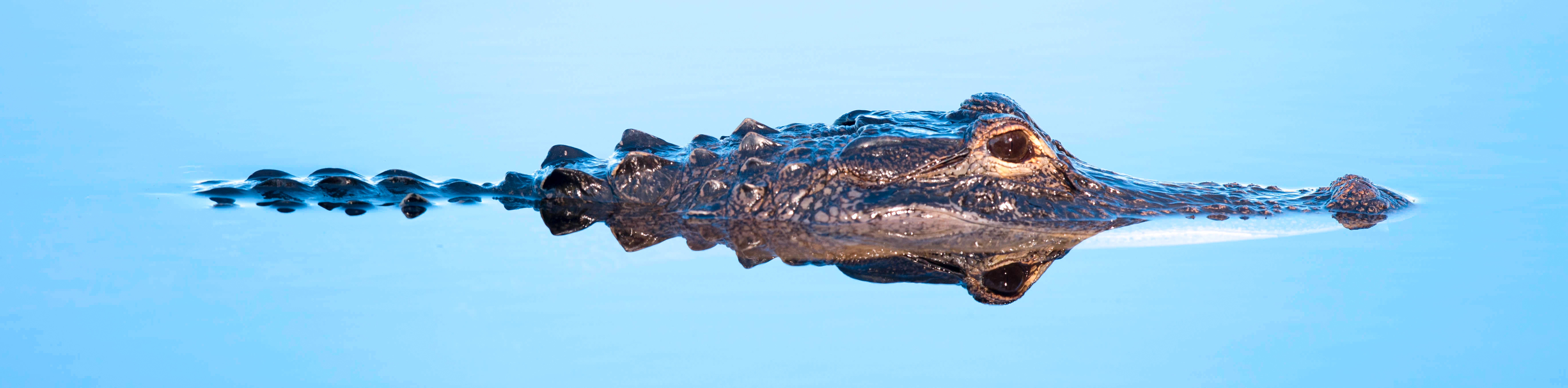 """The Alabama Alligator Harvest """"Lottery"""" is Now Open!"""