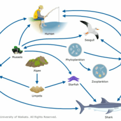 Great White Shark Food Chain Diagram 2003 Volkswagen Golf Stereo Wiring Important Information Sharks In This Web There Are Many Animals Involved The Arrows Represent An Energy Transfer Between Two Organisms