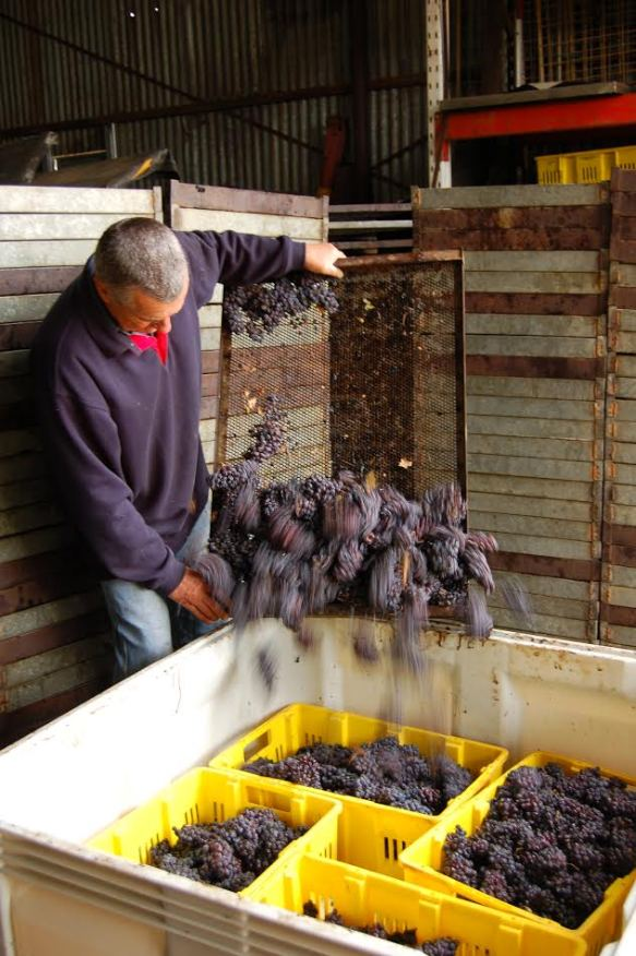 Winemaker Brian Freeman emptying the dried Corvina grapes