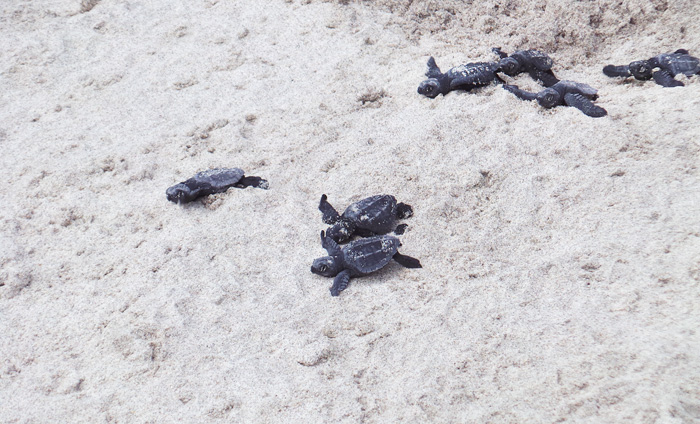 Baby Sea Turtles Hatching, Costa Rica