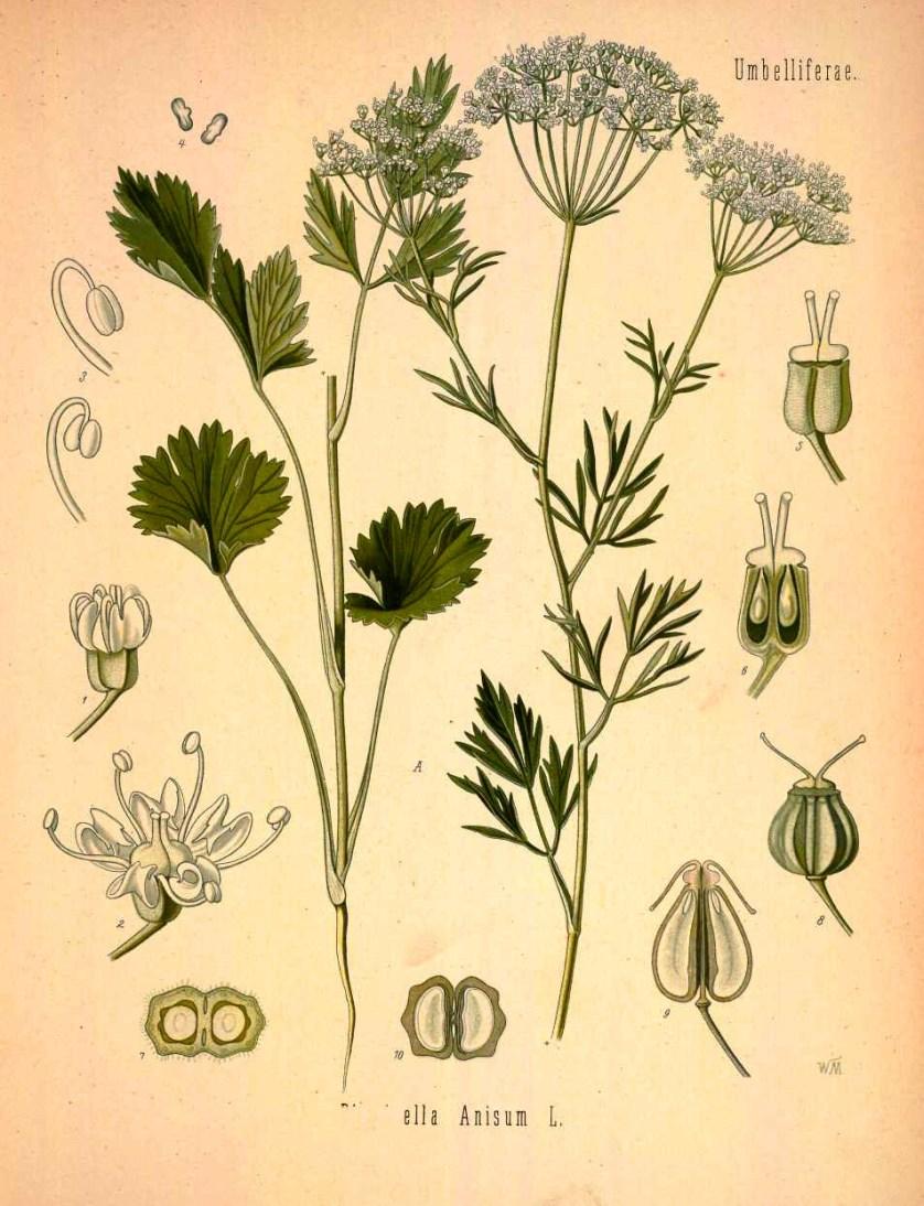Pimpinella-anisum-Kohler