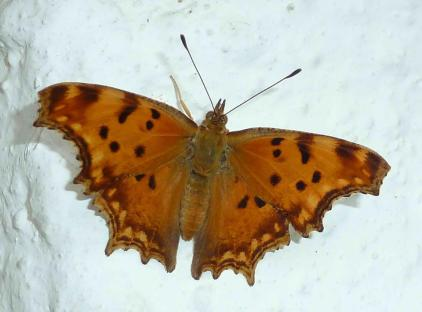 Polygonia egea-photo by Aris Xristidis