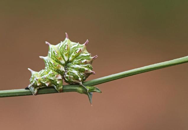 Apochima flabellaria, phot by Zaralis Chris