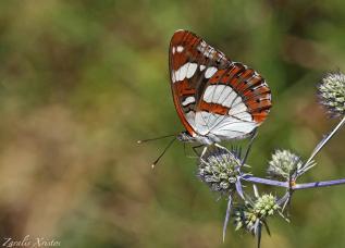 Limenitis reducta, photo: Ζαραλής Χρήστος