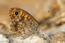 Lassiomata megera-photo by Chris Vlachos