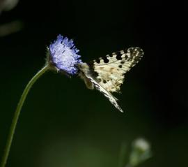 Allancastria cerisyi-αρσενικο