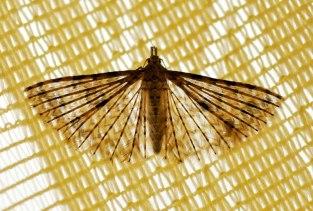 Alucita hexadactyla-photo by Elias Tselos