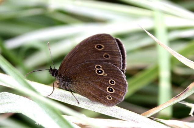 Aphantopus hyperantus-Photo by Xristos Dimadis