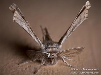 Apochima flabellaria-photo by Stavros Markopoulos