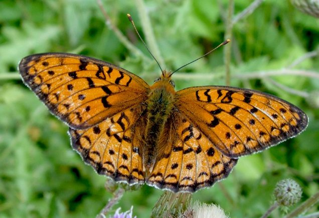 Argynnis niobe-photo by Elias Tselos