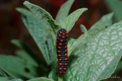 Archon apollinus οικ. Papilionidae