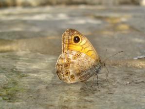 Lassiomata maera-photo by Matou Kal