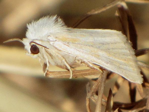 Leucoma salicis-photo by Γιαννης Γαβαλας
