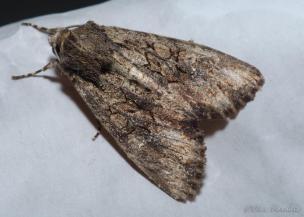 Mniotype spinosa