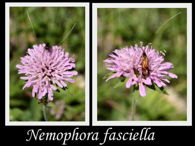 Nemophora fasciella-φωτογραφος:Χρίστος Δημάδης
