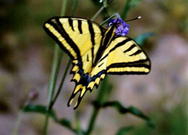 Papilio alexanor eitschbergeri-Samos Απο τις σπανιοτερες και πλεον απειλουμενες πεταλουδες της Ελλαδας.