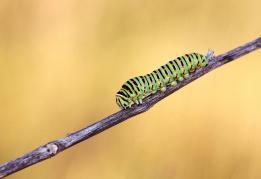 Papilio machaon -caterpillar/photo by Zaralis Christophe