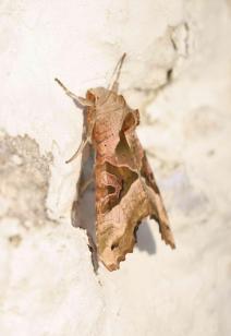 Phlogophora meticulosa-photo by Aris Christidis