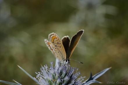 Polyommatus argus female