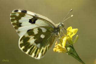 Pontia edusa- photo by Chris Vlachos