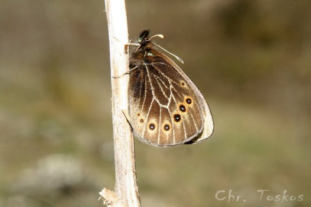 Proterebia afra-photo by Christos Toskos