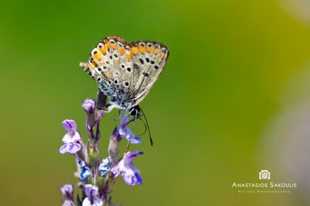 Aricia agestis, , Σακούλης Α., Γράμμος, 1100μ., 1-7-2012
