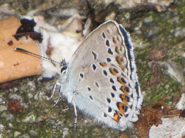 Lycaeides argyrognomon-photo Γιαννης Γαβαλάς