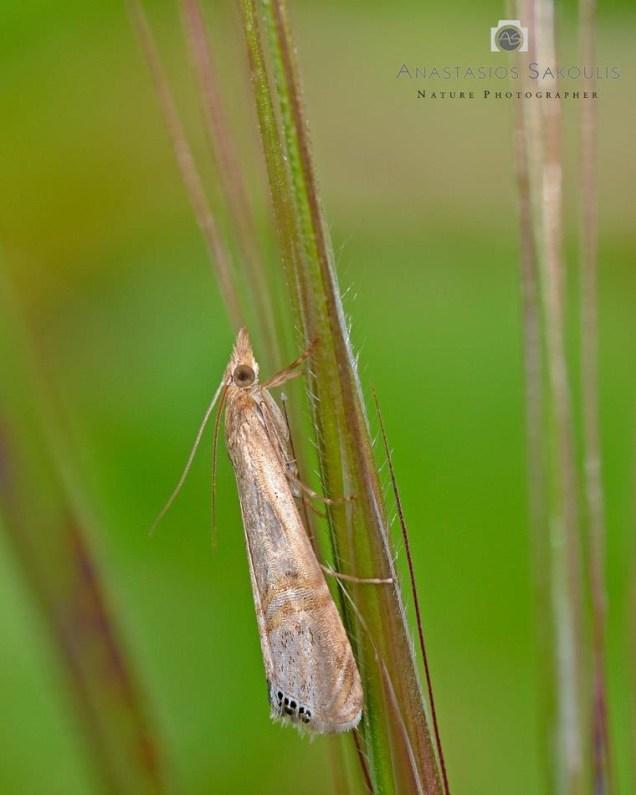 Euchromius ocellea - photo: Α. Σακούλης