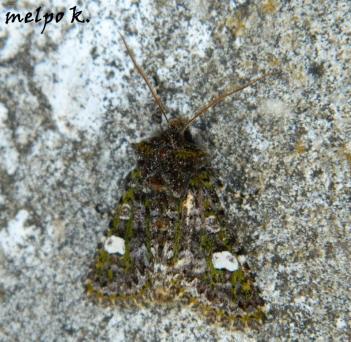Anaplectoides prasina-photo by Melpomeni-Irini Kara