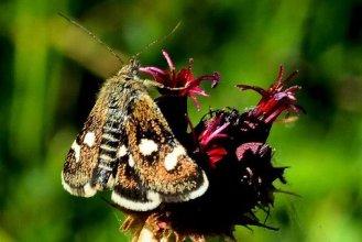 Eurrhypis pollinalis- photo by Elias Tselos