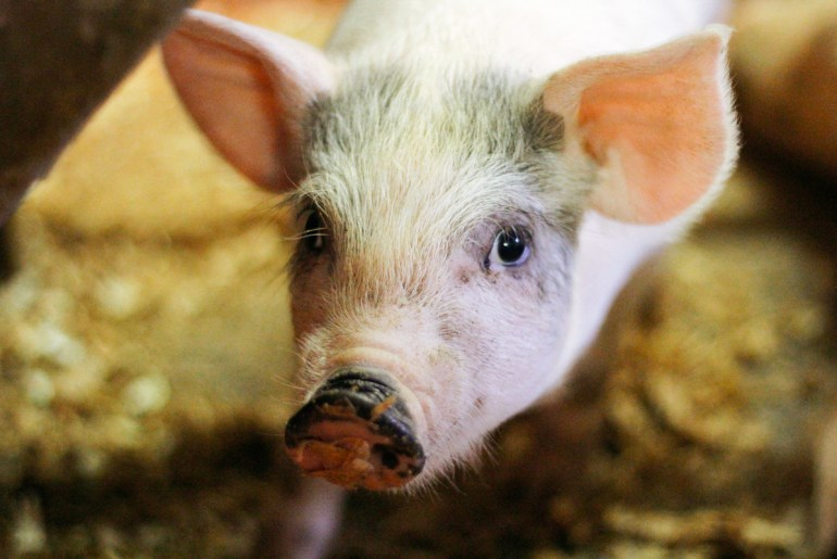 ik pig dit niet - world animal protection