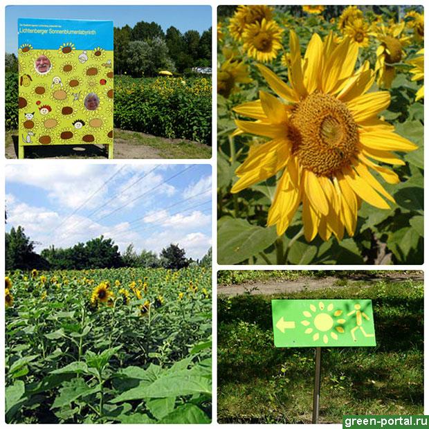 Правильное выращивание декоративного подсолнуха из семян