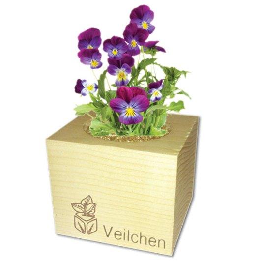 ecocube_veilchen_pflanze