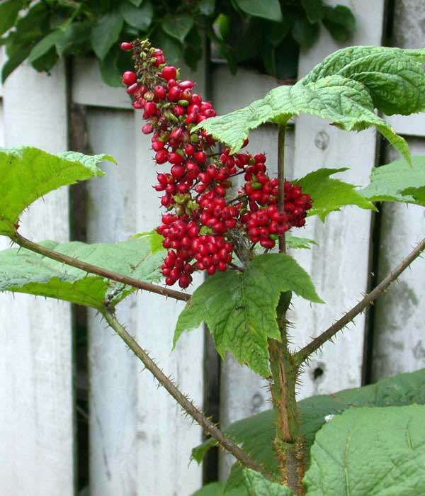 devil's club berries - Native Plant Guide