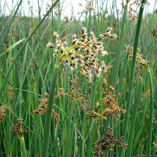 Hardstem bulrush in flower  Native Plant Guide