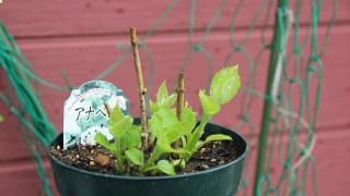 春の寄せ植え、その後の姿