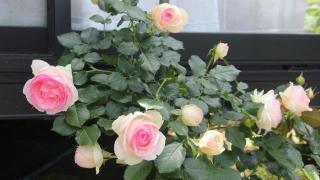 日陰にギボウシを植えましたと バラの開花も
