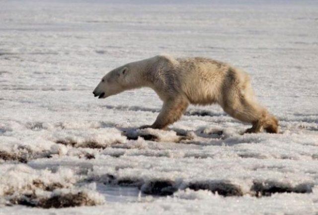 Εξαντλημένη πολική αρκούδα περιπλανιόταν για 700 χλμ ψάχνοντας ...