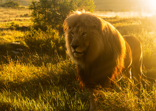 3 Things You Can Do For World Lion Day