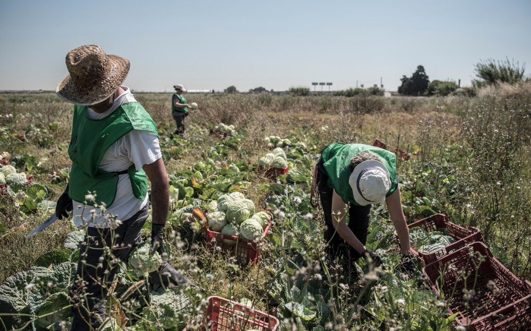 Food waste: harvesting Spain's unwanted crops to feed the hungry