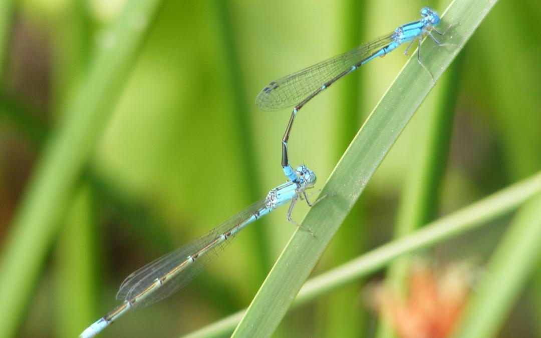 Assortative mating can break the sex barrier between species