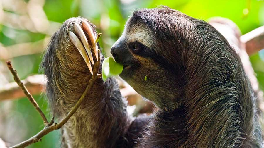 The three-toed sloths are the slowest mammals on the planet