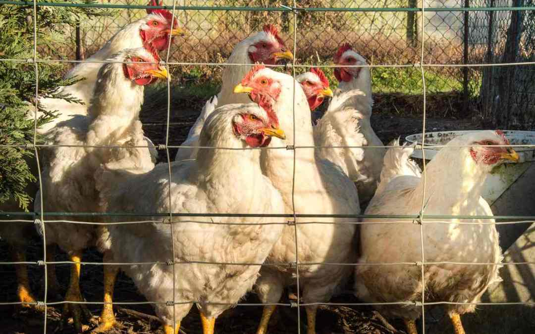 Avian flu found in backyard flock in Welsh village