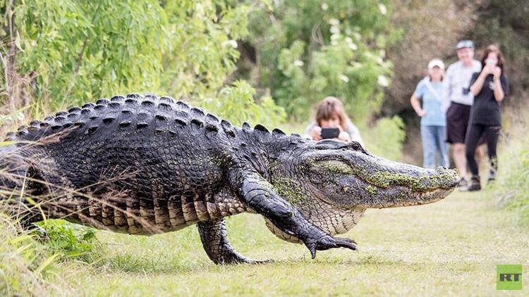 """تمساح بهيئة """"ديناصور"""" يتجول في شوارع فلوريدا"""