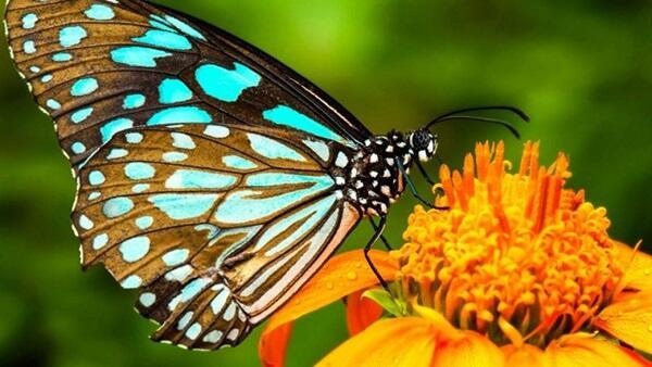 بالرغم من أجنحتها الصغيرة وعضلاتها الخفيفة، ألا أن الفراشة الأنثى قادرة على قطع كيلومترات طويلة أكثر من الذكر