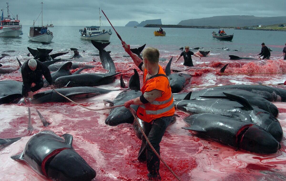 اليابان تعاود صيد الحيتان… بذريعة دراستها!