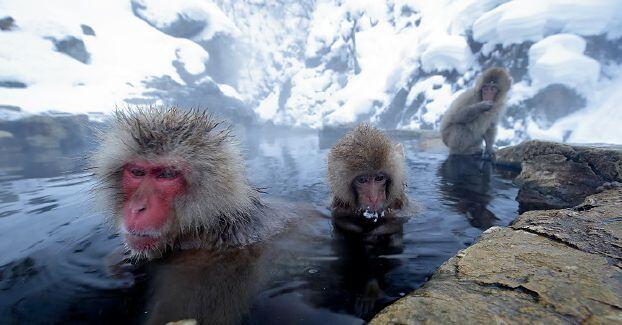 حديقة حيوانات يابانية تقضي على 57 قرداً لحماية الأنواع المحلية