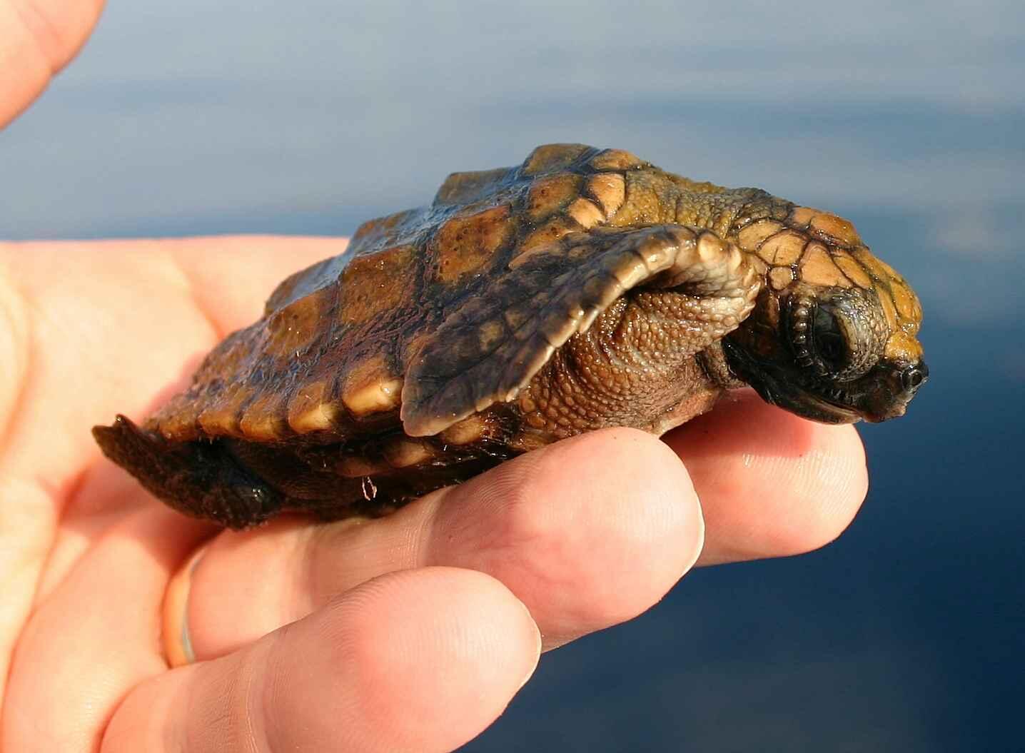الحفاظ على السلاحف البحرية وحمايتها من الانقراض في سقطرى
